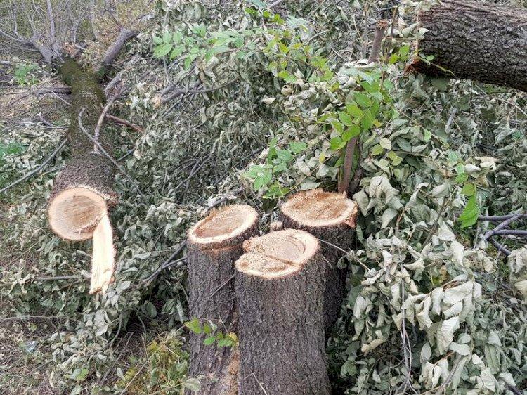 300 түп ағаштың кесілуіне байланысты Алматы әкімдігі түсініктеме берді